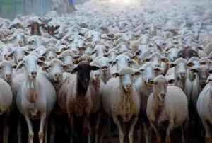 cria-ovejas-borregos-corderos-ovinos-pc-env-gratis-op4-2663-mlm26421672_4854-o