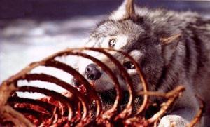 wolf_eating-b
